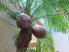 椰子の実 2006-3