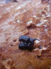 Horned Fungus Beetle