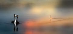 grebe photo by augustynbatko