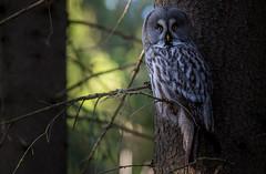 Great Gray Owl photo by Jyrki Salmi