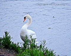 Swan .. A view that redefined the sea...Swansea photo by @ Mohsin