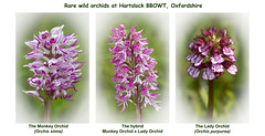 The rare wild orchids at Hartslock {Explored 29.05.2015. Thank you for views and favs!} photo by smir_001 (on/off)