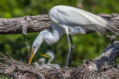 Great Egret With Chicks photo by Bill Varney
