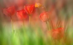 Tulips. photo by augustynbatko