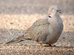 Collared Dove, Ponta da Areia (Portugal), 28-Apr-06