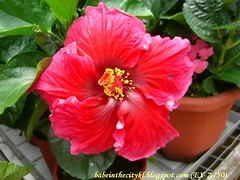 ch - cv gigantic red hibiscus