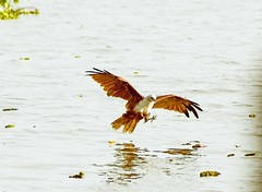 Brahminy Kite on the water surface diving for its prey photo by Anoop Negi