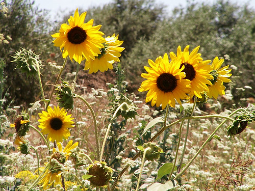 Multigirasoles