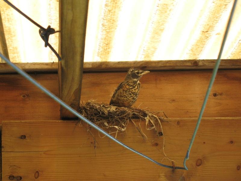 robin nesting7.JPG