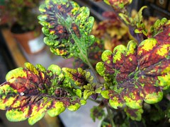 Coleus 'Burnt Sienna?'