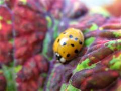 Ladybug on Coleus