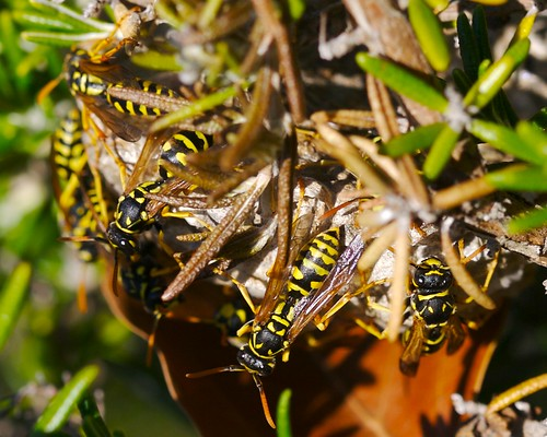 Paper Wasps on Rosemary
