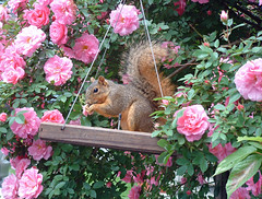 rose squirrel
