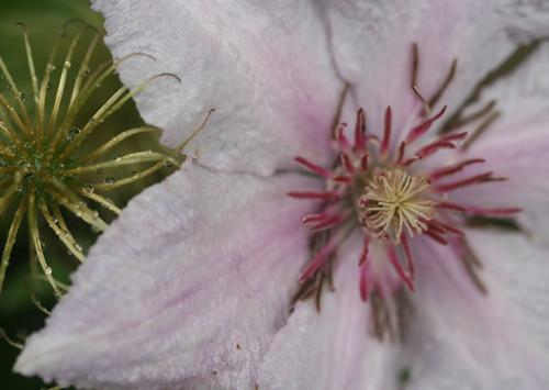 Clematis florida