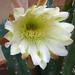 Cereus (3217)