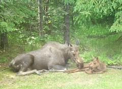 moose 016