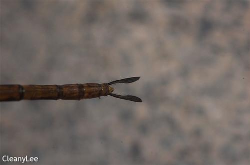 13145浡鋏晏蜓 Gynacantha bayadera 雌未熟?
