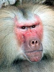 20051030145911_baboon