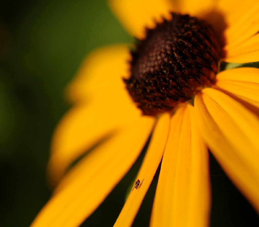 black-eyed susan and fly