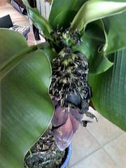 bananier en fleur7
