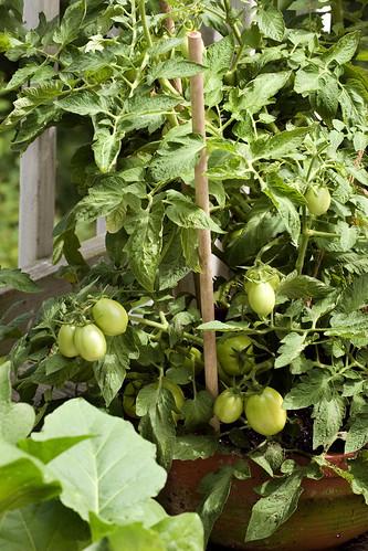 bad-tomato-5-060708-jpg