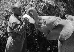 Elephant Feeding 2