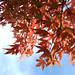 Momiji ( maple tree ) - Kamakura