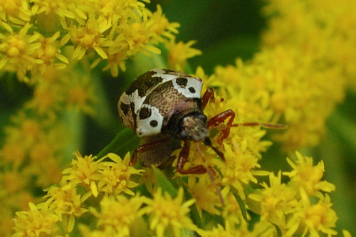 Stiretrus anchorago, Anchor Stink Bug, on Goldenrod, Front View