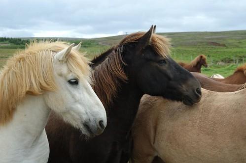 Icelandic_horses_@_Laxnes_horse_farm,_Iceland_3.jpg