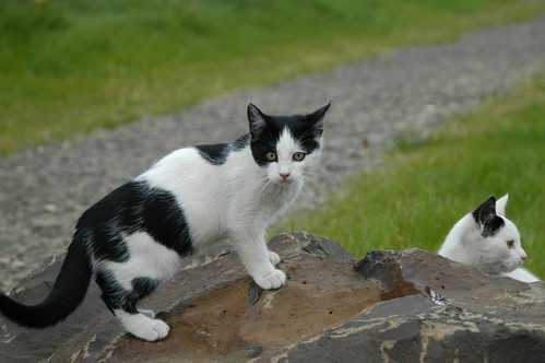 Kittens_playing_@_Eiriksstadir,_Iceland_4.jpg