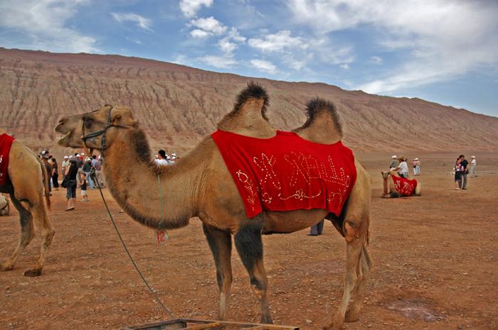 克孜勒塔格前的駱駝