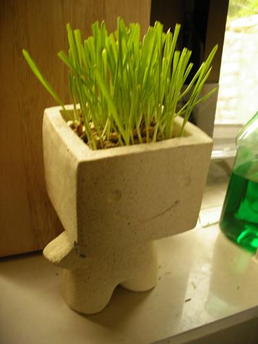 貓草 cat grass