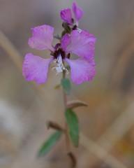 Mystery Purple Wildflower