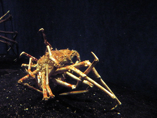 Giant spider crab.