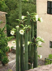 cactusurtaca
