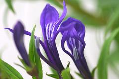 lobelia_sessilifolia2jpg