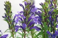 lobelia_sessilifolia3