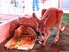 Tortoise and Kangaroo, Natural Allies