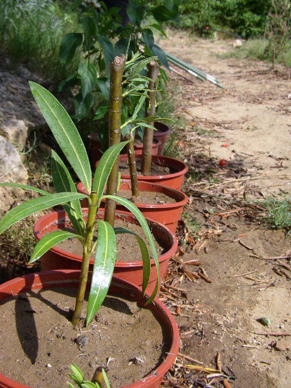Anzucht Oleander - Step 4