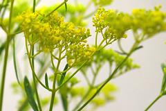 patrinia scabiosaefolia