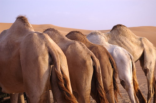 Camel Butts