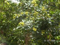 Rambutan Tree (2)