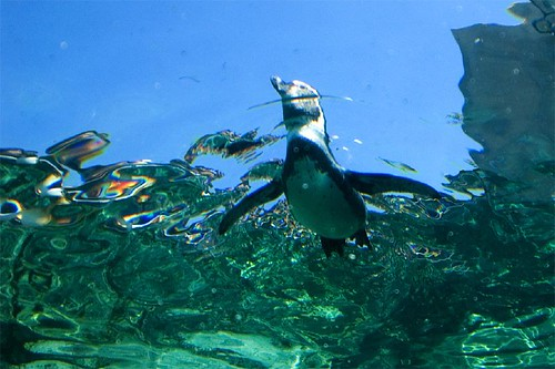 underwater penguin