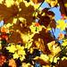 Feuilles-d'automne-II