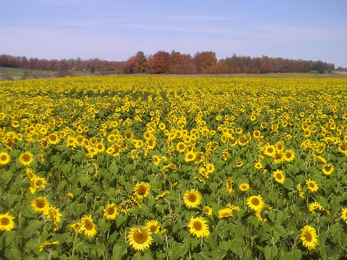 more vermont sunflowers