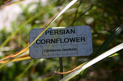 Persian Cornflower