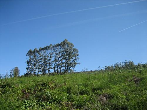 Eucaliptos no Bachao