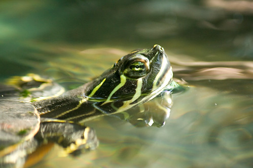 Surfacing Turtle