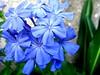 Blue Flowers...again.