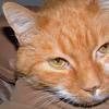 Spike: orange tabby cat